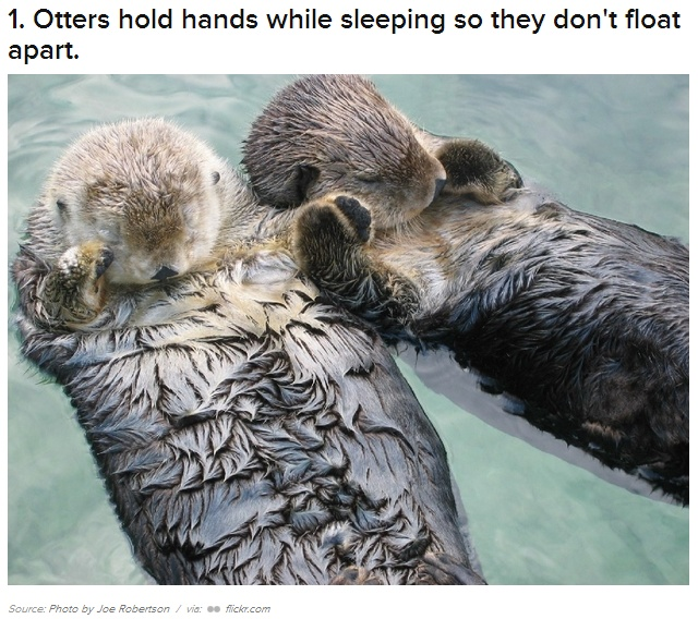 Otter's hold hands so they don't float apart